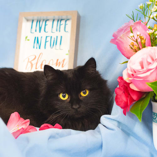 Bloom (87703) - Domestic Medium Hair Cat
