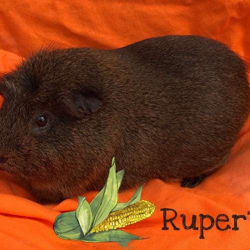 Rupert - Crested x Smooth Hair Guinea Pig
