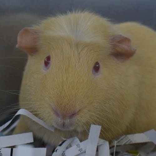 Tyler (Adoption pending) 889085 - Crested Guinea Pig