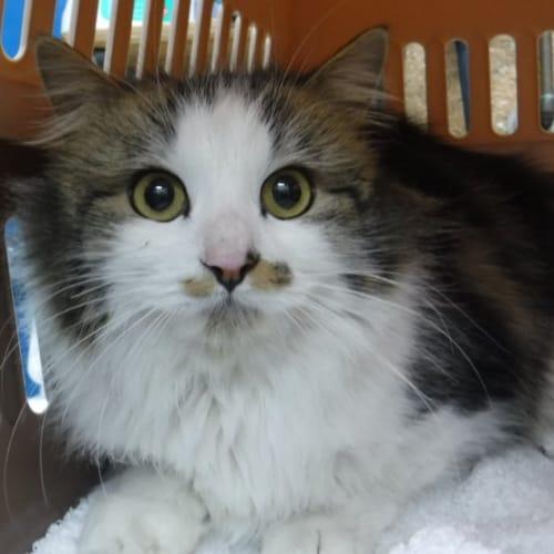Pcc 441 - Domestic Medium Hair Cat