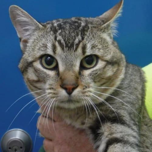 Hcc 227 - Domestic Short Hair Cat
