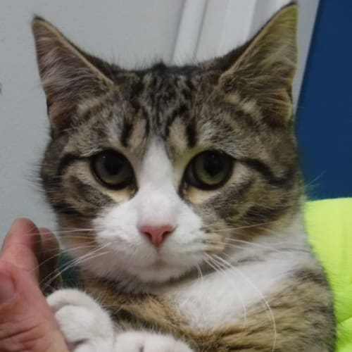 Pcc 446 - Domestic Short Hair Cat