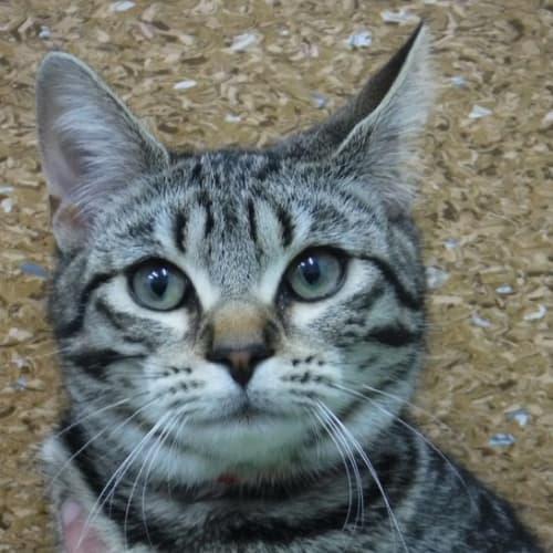 Pcc 447 - Domestic Short Hair Cat