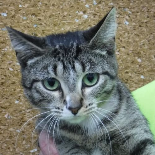 Pcc 445 - Domestic Short Hair Cat