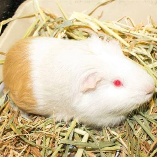 Prinny 830808  - Smooth Hair Guinea Pig