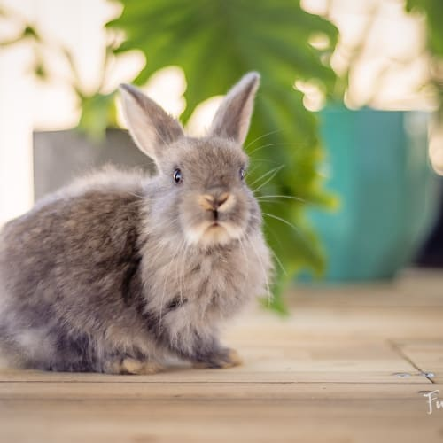Almond (OaV-18) - Lop Eared Rabbit