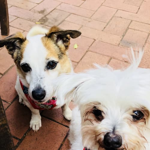 Max and Maddie  - Jack Russell Terrier x Maltese Dog