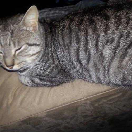 Silver - Domestic Short Hair Cat
