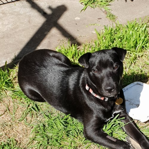 Evander - Kelpie x Labrador Dog