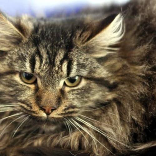 Shady - Domestic Long Hair Cat