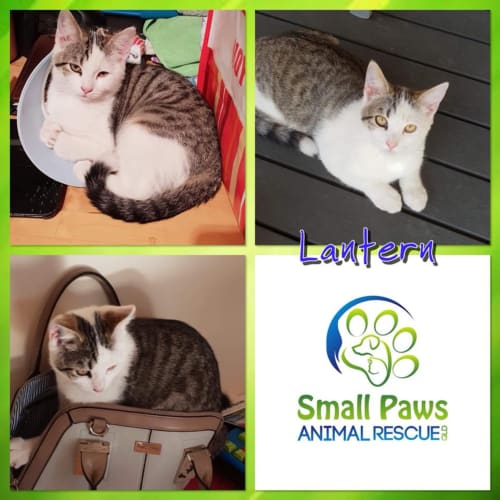 Lantern - Domestic Short Hair Cat