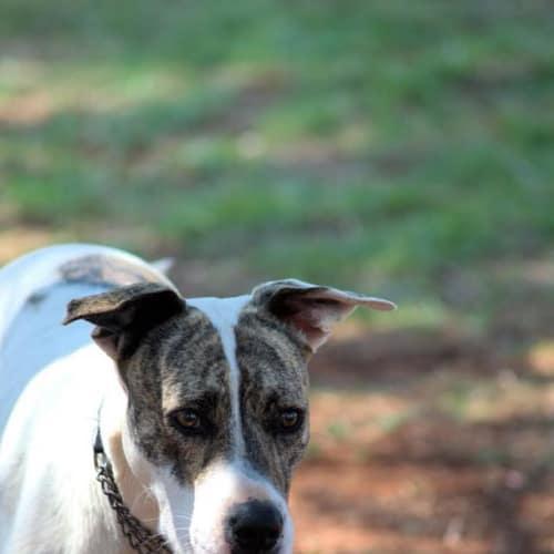Summer - Bull Arab x Whippet Dog
