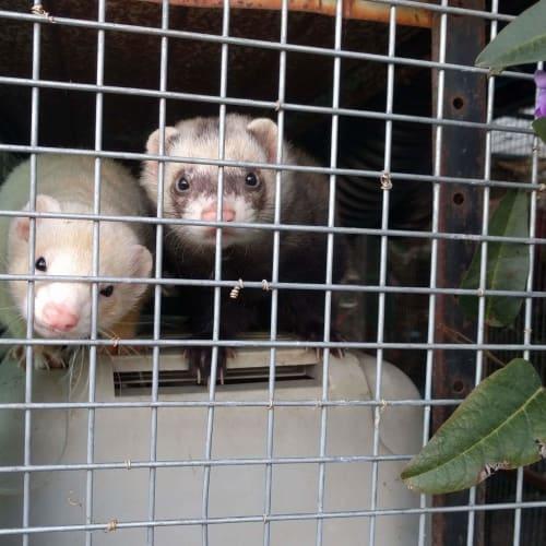 Lu & Will  -  Ferret
