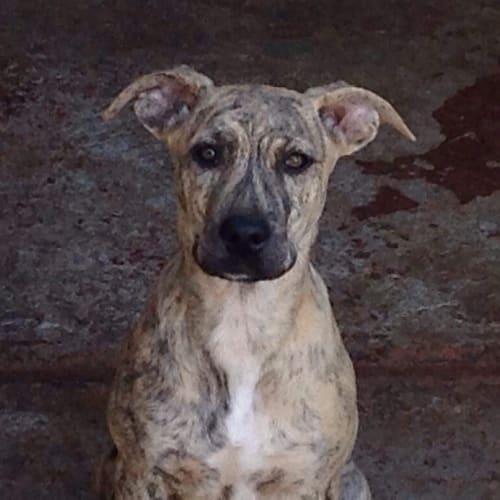 Charlotte - Bull Arab Dog
