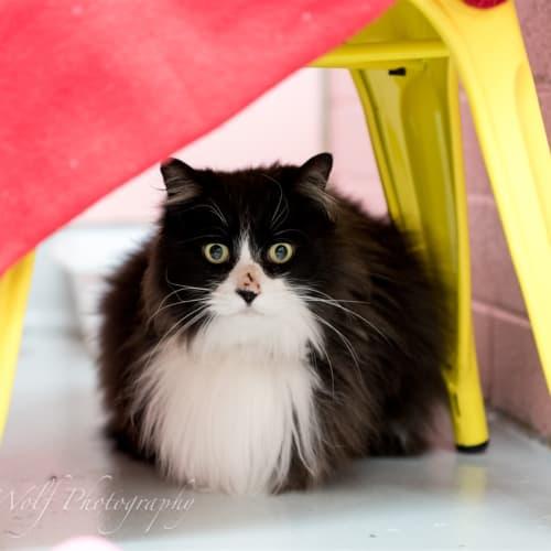 Mook - Domestic Longhair Cat