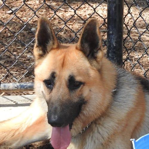 Caesar - German Shepherd Dog