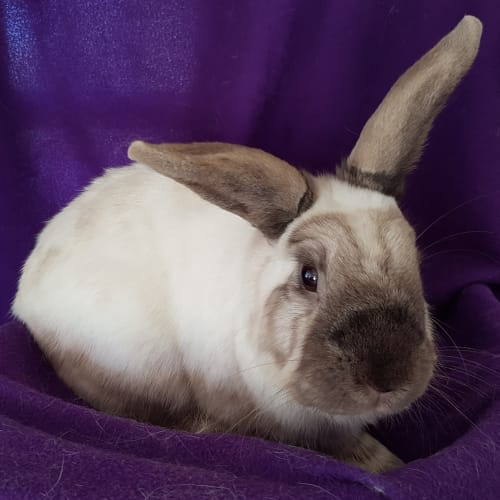 Olivia  - Domestic Rabbit
