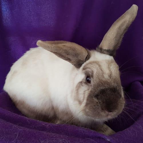 Olivia  - Domestic Rabbit