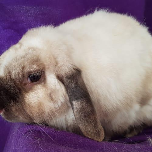 Swayze - Lop Eared Rabbit