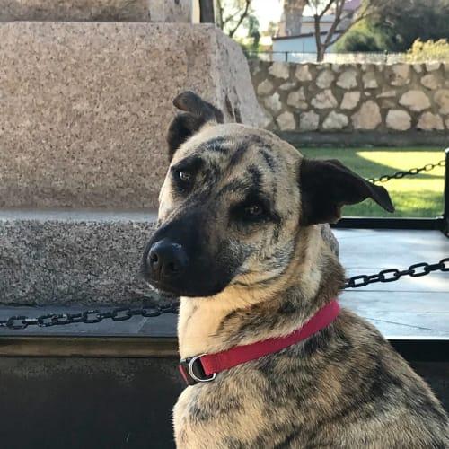 Mika - Greyhound x Kelpie Dog
