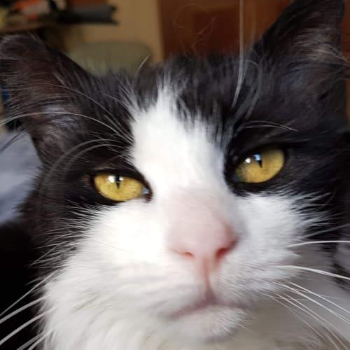 Olive - Located in Moonee Ponds - Domestic Medium Hair Cat