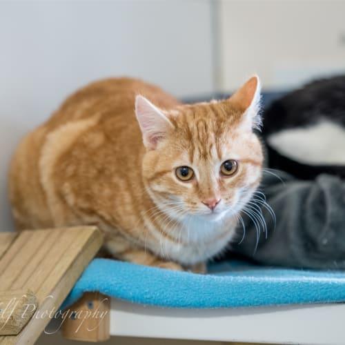Donald - Domestic Short Hair Cat