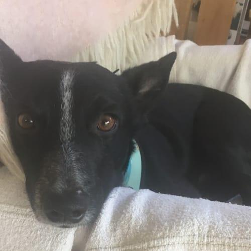 Con  - Fox Terrier Dog