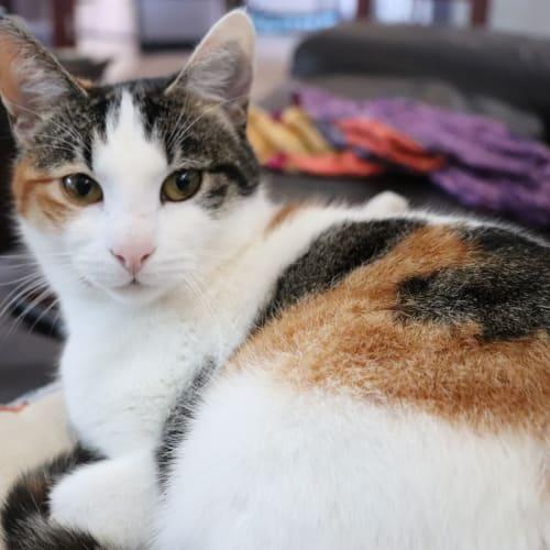 Carmen - Domestic Short Hair Cat