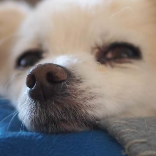 Chardy - Chihuahua Dog