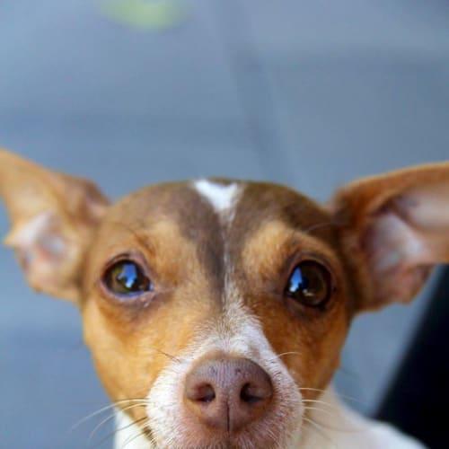 Boo Boo - Italian Greyhound x Miniature Fox Terrier Dog