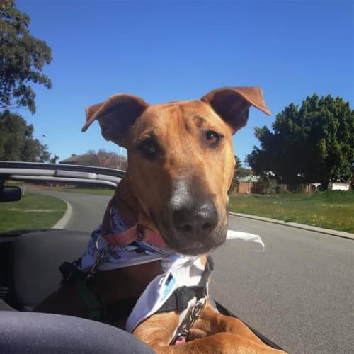 Molly - Bull Terrier x American Staffordshire Bull Terrier Dog