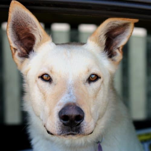 Snow - Border Collie x Kelpie Dog