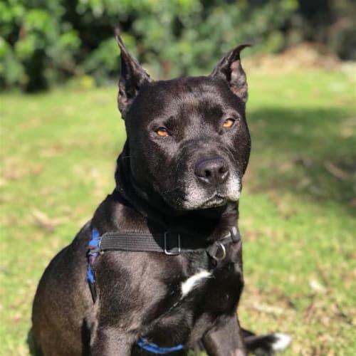 Owen - American Staffordshire Bull Terrier Dog