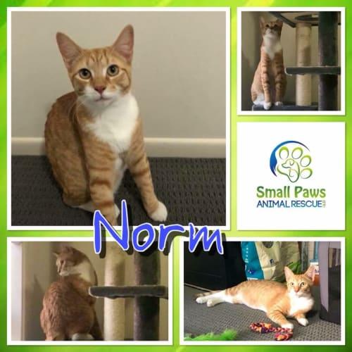 Norm - Domestic Short Hair Cat