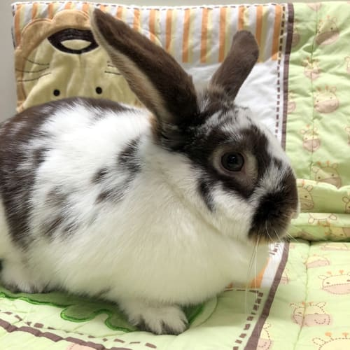 Tedesco - Domestic Rabbit
