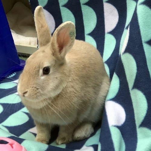 Rita - Domestic Rabbit