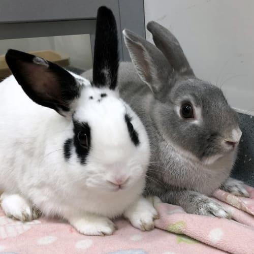 Madge & Cooper - Dwarf lop Rabbit