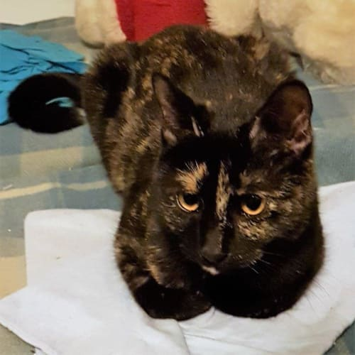Cinders on sale now - Domestic Short Hair Cat