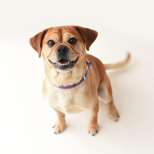 Milo ~ 3 year old Pug x Cavalier  - Cavalier King Charles Spaniel x Pug Dog