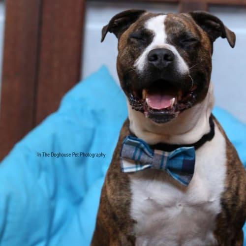 Unix - American Staffordshire Terrier x Staffordshire Bull Terrier Dog