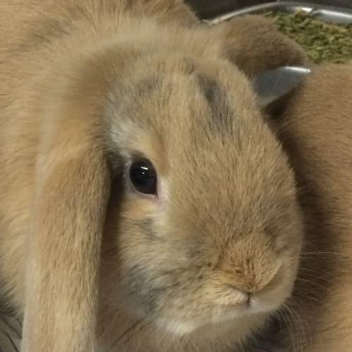 Fallow - Dwarf lop Rabbit
