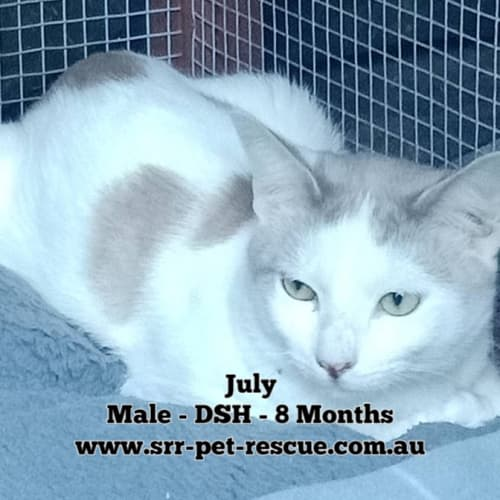 July - Domestic Short Hair Cat