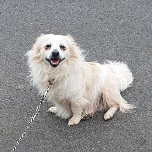 Frosty - Pomeranian Dog