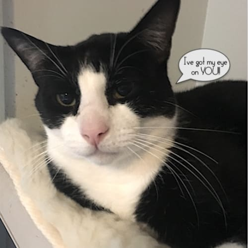 Bilko - Domestic Short Hair Cat