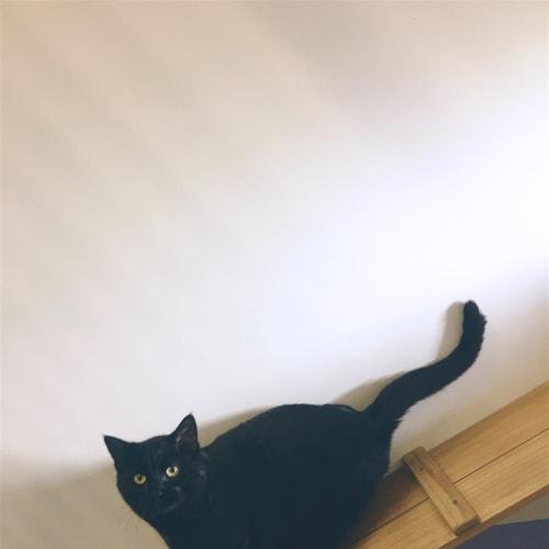 Wesley - Domestic Short Hair Cat