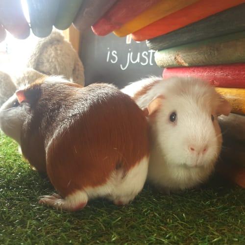 Jasper and Meeko - Guinea Pig