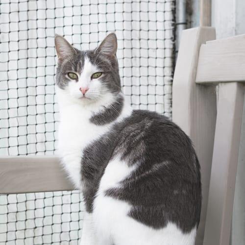 Beatrice (85581) - Domestic Short Hair Cat