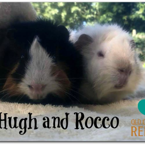 Hugh and Rocco (not suitable for small children) - Abyssinian Guinea Pig