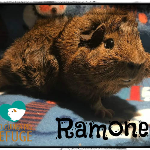 Ramone (desexed male) - Abyssinian Guinea Pig