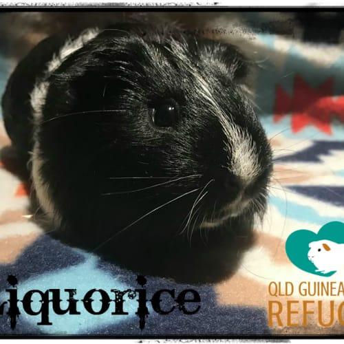 Liquorice (desexed male) - Smooth Hair Guinea Pig